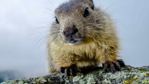 Couple Dies of Bubonic Plague After Eating Raw Marmot Kidney